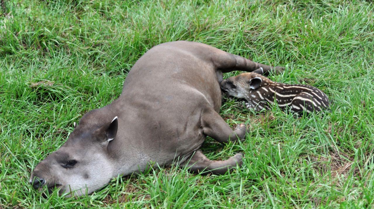 tapir paraguay - tapir - Paraguay – Im Land der roten Erde